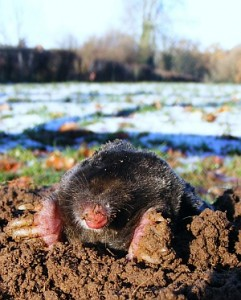 Moles in winter!